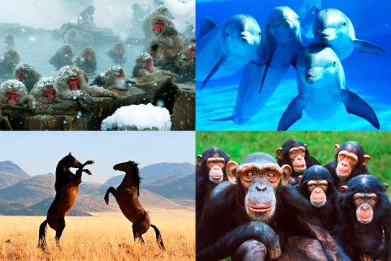 ¿Cuál es el animal más inteligente después del hombre?