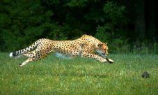 ¿Cuál es el animal más rápido del mundo?
