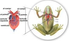 ¿Cómo es la circulación en animales anfibios?