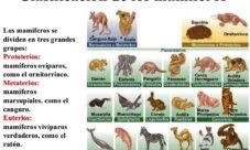 Clasificación de los animales mamíferos