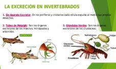 ¿Cómo es la excreción de los animales invertebrados?