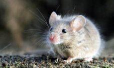 Animales mamíferos perjudiciales para el hombre