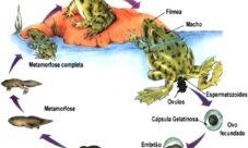 ¿Cómo se reproducen los animales anfibios?