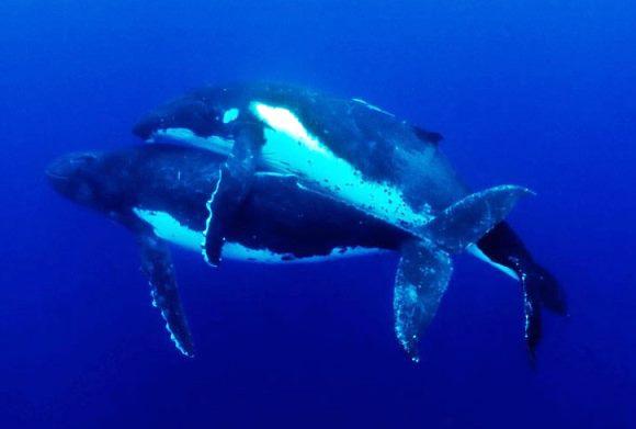¿Cómo se reproducen las ballenas?