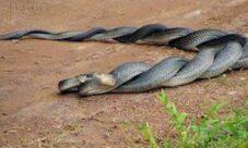 ¿Cómo se reproducen las serpientes?