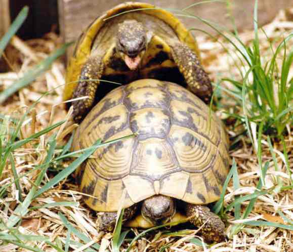 ¿Cómo se reproducen las tortugas?