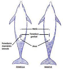 ¿Cómo se reproducen los delfines?